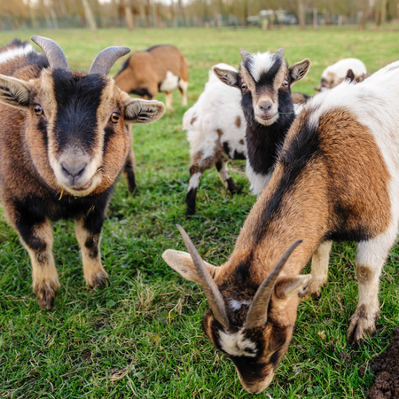 A group of small Goats grazing in a field on a February Winter afternoon in the Flemish Ardennes in Belgium. Stock Photo
