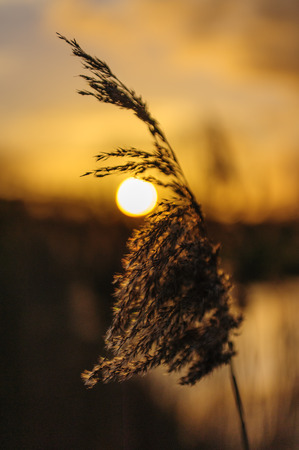 Backlit image of a reed, with the setting sun in the background. East-Flanders, Belgium on a late winter afternoon.