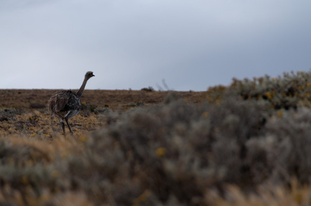 Quick Glimpse of aRhea pennata, or Darwins Rhea
