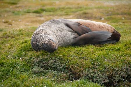 Fur Seal on the Salisbury Plains area of South Georgia.