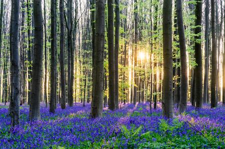 Wschodzące słońce oświetlające kwietnik dzwonków w Hallerbos wczesnym wiosennym rankiem. Zdjęcie Seryjne
