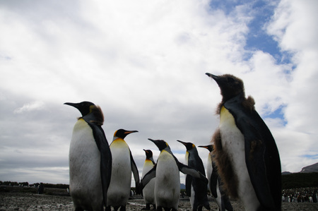 Impression of the wild abundance of King Penguins at Salisbury Plains, South Georgia. Salisbury plains is home to one of the largest King Penguin Rookeries, or Colonies, in the World