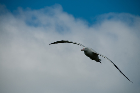 A Wandering Albatross Flying on Prion Island, South Georgia. Stock Photo