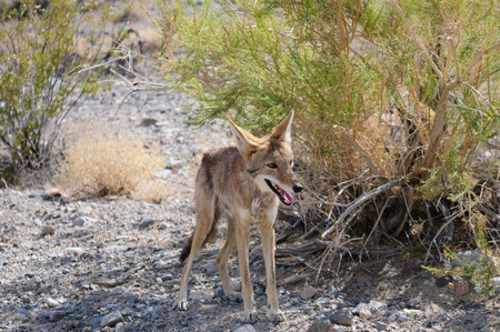 A lone coyote crossing the road on an early August summers day in Death Valley National Park. Stock Photo