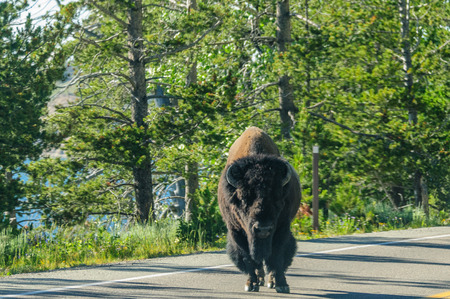 A Bison slowly crossing the road in Yellowstone National Park, Wyoming, USA 版權商用圖片