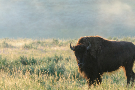 Backlit images of a group of Bison in the Hayden Valley area of Yellowstone National Park Archivio Fotografico