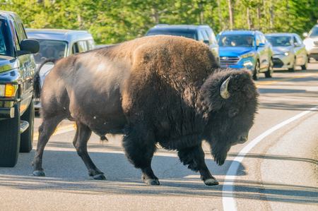 A Bison slowly crossing the road in Yellowstone National Park, Wyoming, USA Stock Photo