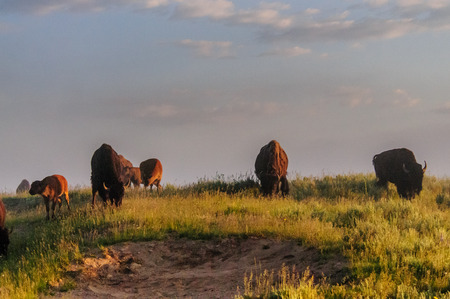 Image of a group of Bison in the Hayden Valley area of Yellowstone National Park
