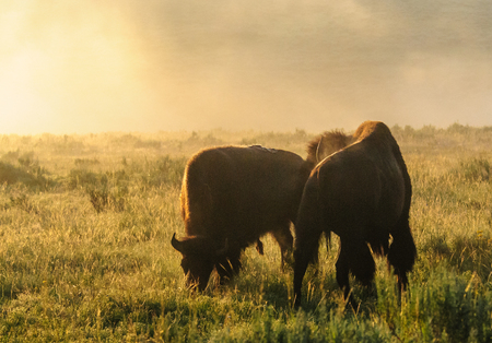 Backlit images of a group of Bison in the Hayden Valley area of Yellowstone National Park Stock Photo