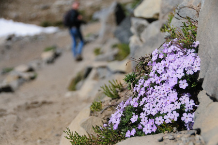 A collection of pink wild flowers along the rim of Mount Raineer.