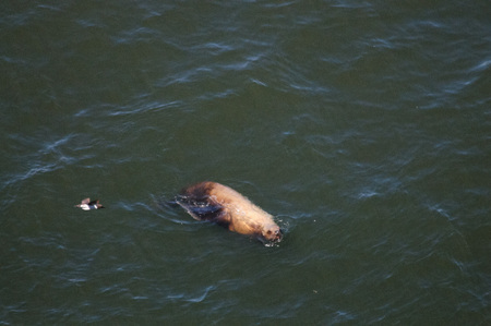 Sea lions swimming off the coast of Oregon, on a summers afternoon.