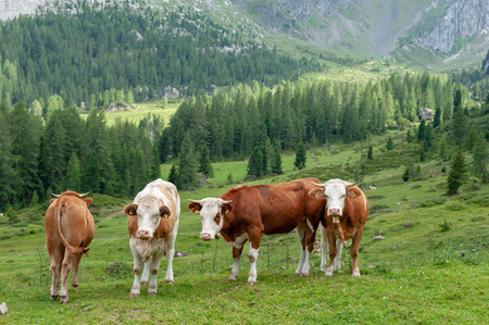 A group of Swiss Cows, grazing in a Meadow in the Itialian Alps, in the Dolomites, on a summer afternoon.