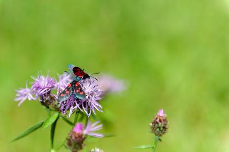 A Six-spot Burnet moth -Zygaena filipendulae- sitting on Knapweed -Centaurea genus- flower, in the Italian Dolomites Stock Photo