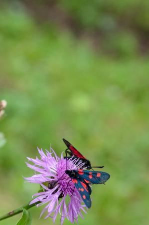 A Six-spot Burnet moth -Zygaena filipendulae- sitting on Knapweed -Centaurea genus- flower, in the Italian Dolomites Banco de Imagens