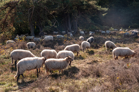 A herd of Haether Sheep grazing at the Drenthse AA area, near the Town of Zeegse, at the moorlands, in the North of the Netherlands. Image from a fall afternoon in 2018.