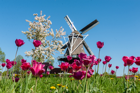Close-up of a field of tulips against a backdrop of a classic Dutch Windmill in the city of Dokkum, Friesland, in the Northern parts of the Netherlands, as seen on a bright sunny spring afternoon
