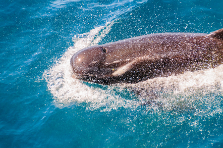 Close-up of a Long-Finned Pilot Whale -Globicephala melas- swimming in the South Atlantic Ocean, near the Falkland Islands