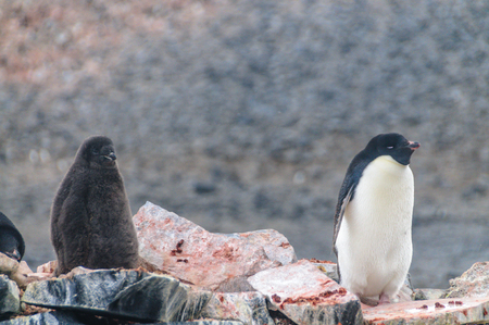 Adelie Penguins - Pygoscelis adeliae - On Paulet Island, near the Antarctic Peninsula. Banco de Imagens