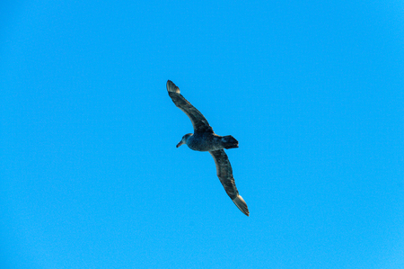 A Southern Giant Petrel - Macronectes giganteus - Circling over the Southern Atlantic Ocean,  searching for carrion on the surface of the sea, somewhere between  the Falkland Islands and  South Georgia,