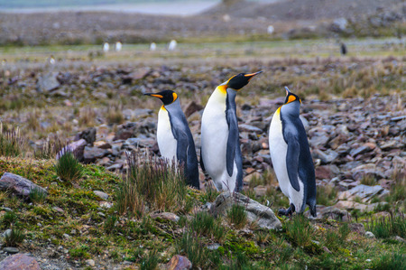 Three King Penguins - Aptenodytes patagonicus - Standing Next to each other, while engaging in a mating ritual. Fortunat Bay,  South Georgia Island.
