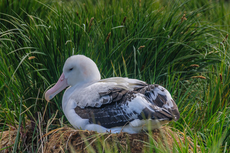 A Giant Wandering Albatross - Diomedea exulans - couple on their nest on Prion Island, South Georgia. These giant sea birds oftentimes form dedicated couples. Фото со стока