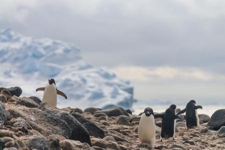 Adelie Penguins on Paulet Island Stockfoto