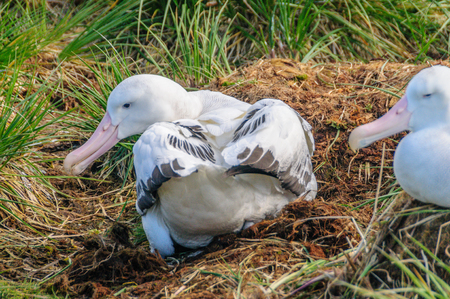 Close-up of a Wandering Albatross on its Nest