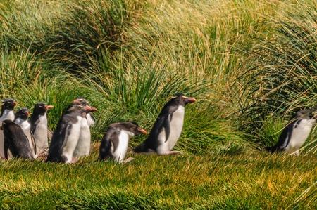 Rockhopper Penguins on Westpoint Island