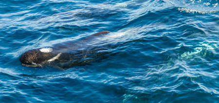 Long-Finned Pilot Whales in the Southern Atlantic Ocean