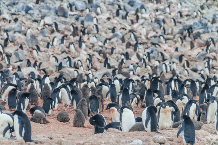 Adelie Penguins on Paulet Island Фото со стока