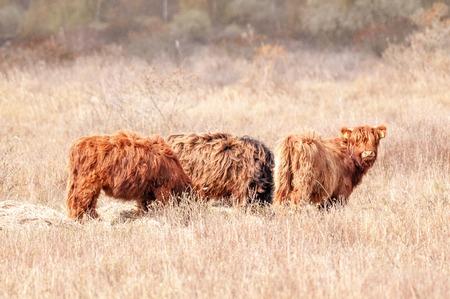 Three Running Scottish Highland Cows