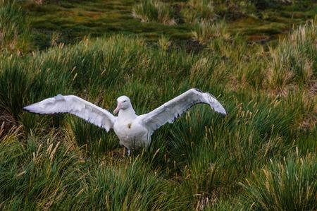 Wandering Albatross Couple on its Nest