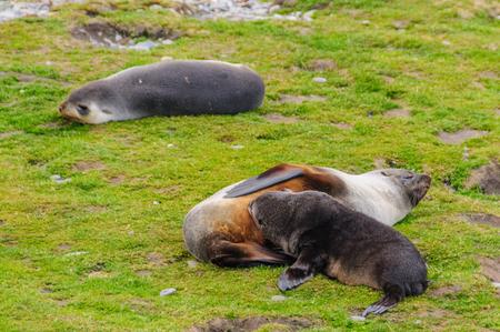 Seals at Fortuna Bay Stockfoto