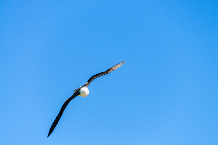 Black-Browed Albatross in Flight Stock Photo