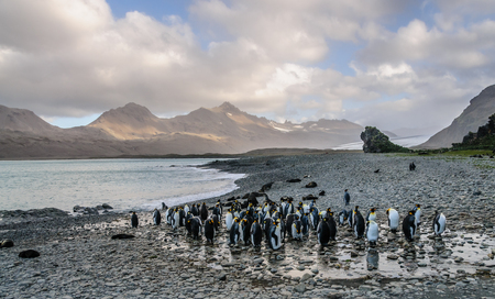 King Pinguins on Beach