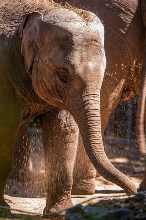 Close-up of a baby Elephant Stock Photo
