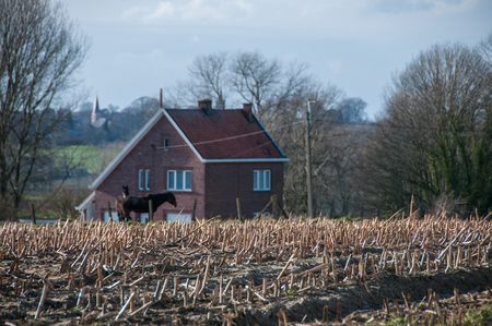 Corn stubbles in the flemish country side.