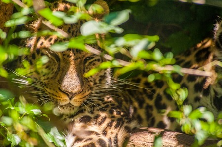 Close-up of a leopard sleeping behind bushes