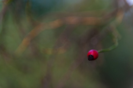An isolated shot of a red berry among a defocussed green background of tree leaves.