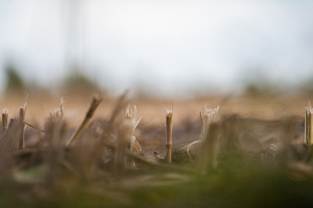 Harvested Corn Field, as seen with a very narrow DOF. Stock Photo