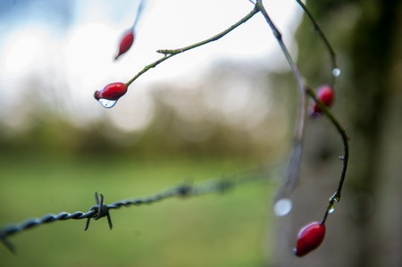 Close-up of berries carrying a droplet of water, in the east flemish countyside,.
