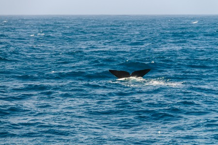 The tail fin of a diving southern Right Whale - Eubalaena australis- in the south atlantic ocean.