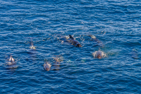 A group of Long-Finned Pilot Whales -Globicephala melas- swimming in the South Atlantic Ocean, near the Falkland Islands