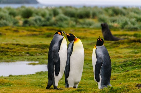 Three King Penguins -Aptenodytes patagonicus- engaging in a courtship ritual on Salisbury plains, South Georgia Stock Photo