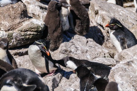 A group of Rockhopper Penguins -Eudyptes chrysocome- at Westpoint Island, the Falklands Stock Photo
