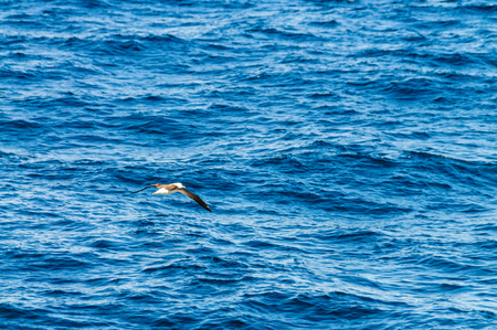 A black-browed albatross flying low across the southern atlantic ocean. Image taken during our encounter with long-finned pilot whales, enroute between the Ushuaia and the Falkland Islands.