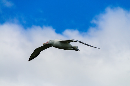Impression of the Mighty Giant Wandering Albatross in Full Flight