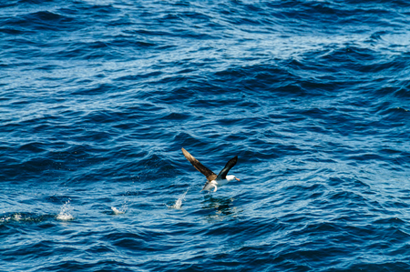 Black-Browed Albatross - Thalassarche melanophris- Taking off from the ocean surface. South Atlantic Ocean.