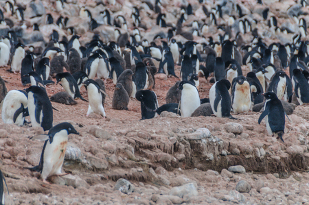 Adelie Penguins - Pygoscelis adeliae - On Paulet Island, near the Antarctic Peninsula. Stock Photo