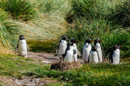 A group of Rockhopper Penguins, against a backdrop of Tussock grasses, trying to find the best way to get to the ocean.